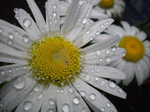 Rain_kissed_flower